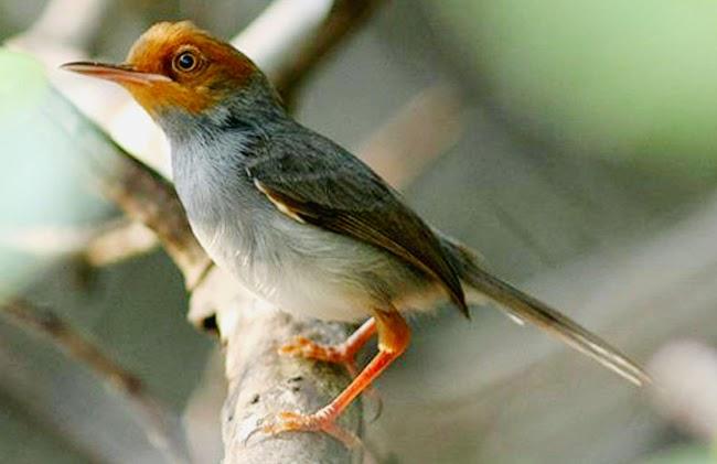 Foto Burung Ciblek Kebun Terbaik