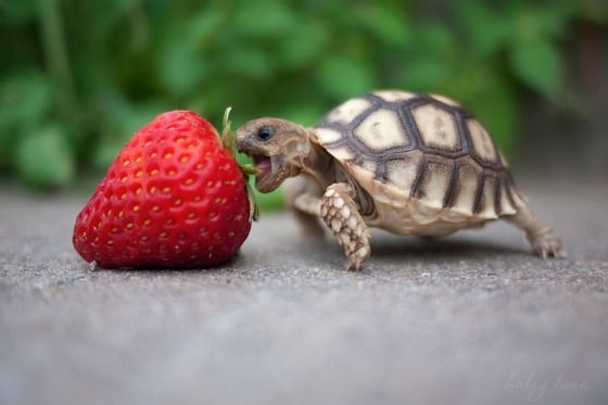 cute+baby++turtle+eating+a+giant+strawbe