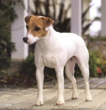 Such Good Dogs: Breed of the Month--Jack Russell Terrier
