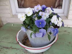 Spring Pasies