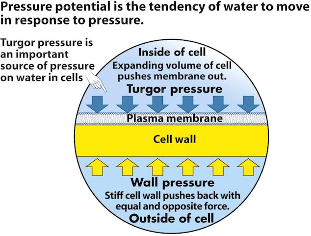 "as biology coursework - water potential ""system"" can refer to the water potential of the soil water (ψ soil), root water (ψ root), stem water (ψ stem), leaf water (ψ leaf), or the water in the atmosphere (ψ atmosphere), whichever aqueous system is under consideration as the individual components change, they raise or lower the total water potential of a system."