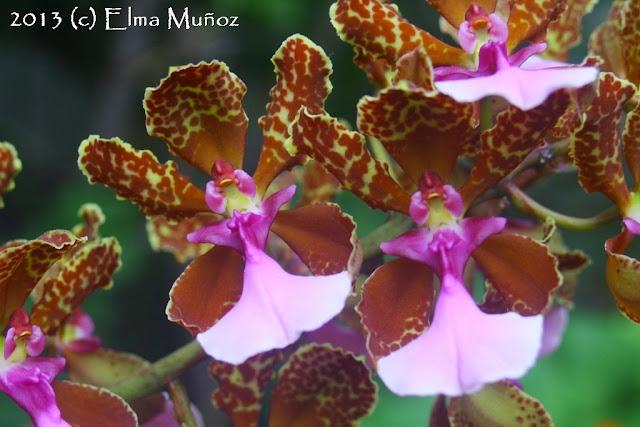 Trichocentrum lanceanum 2013 (c) Elma Muñoz