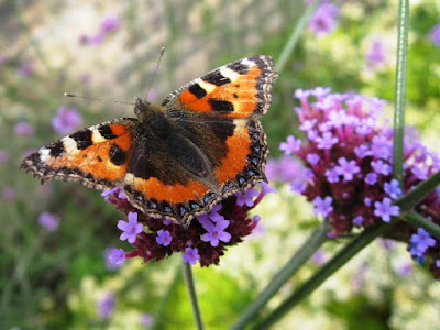 Tortoiseshell butterfly on pink flower