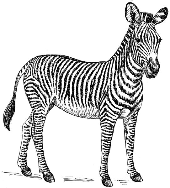 imagen de cebra para imprimir