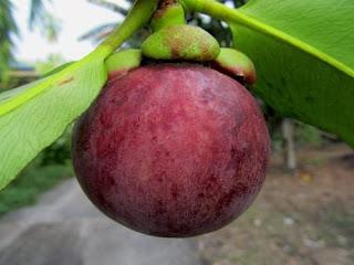 Fakta Tentang Buah Manggis Unik dan Menarik