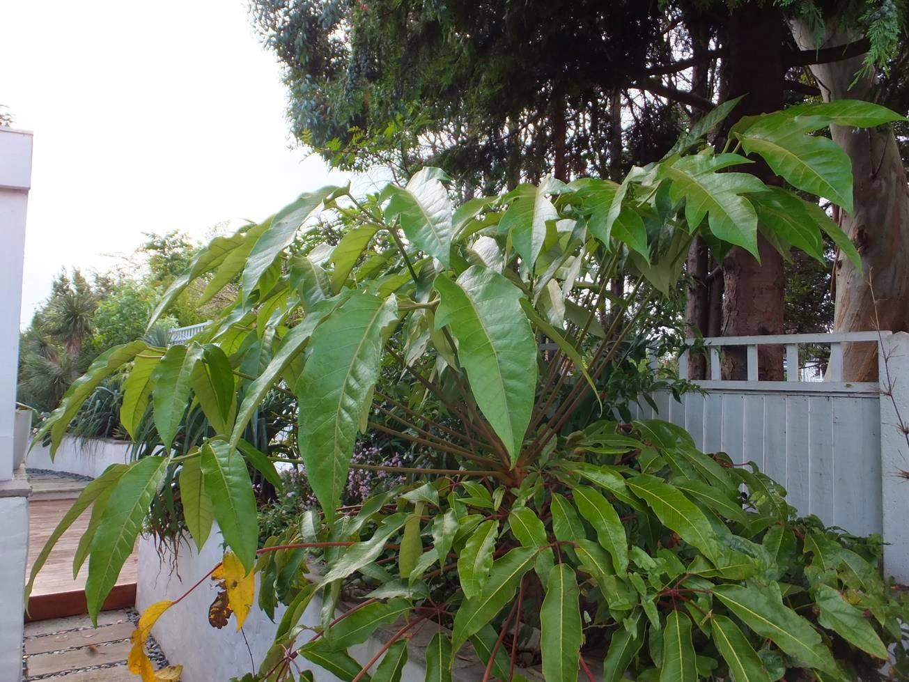 Schefflera delavayi