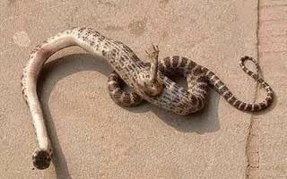 ular berkaki
