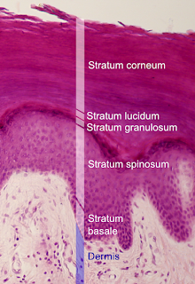 Stratum spinosum layer in epidermis of skin.