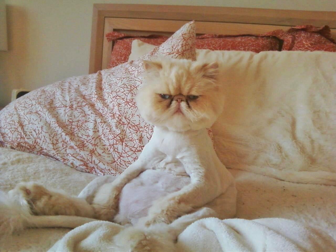 Persa, Cat, Awake, Despertar, Acordar, Gato