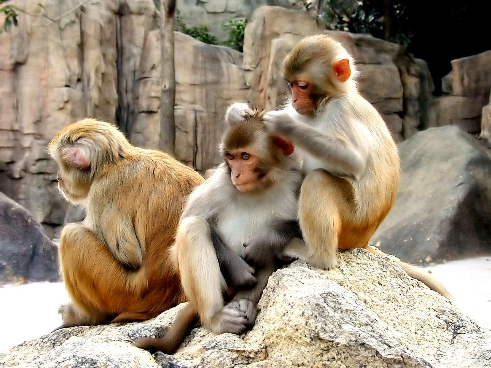 http://4.bp.blogspot.com/-prDReYG0RAU/UC_BvnnVCkI/AAAAAAAAJtc/OKYIFoWkyhA/s1600/Monkey+HD+Wallpapers+%282%29.jpg