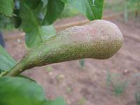 conferance pear