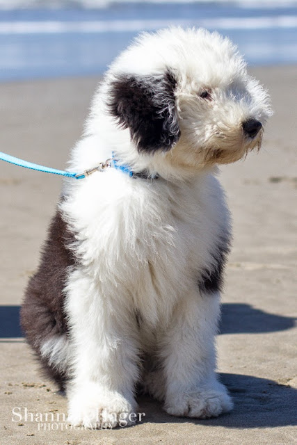 Shannon Hager Photography, Beach Portraits, Old English Sheepdog Puppy