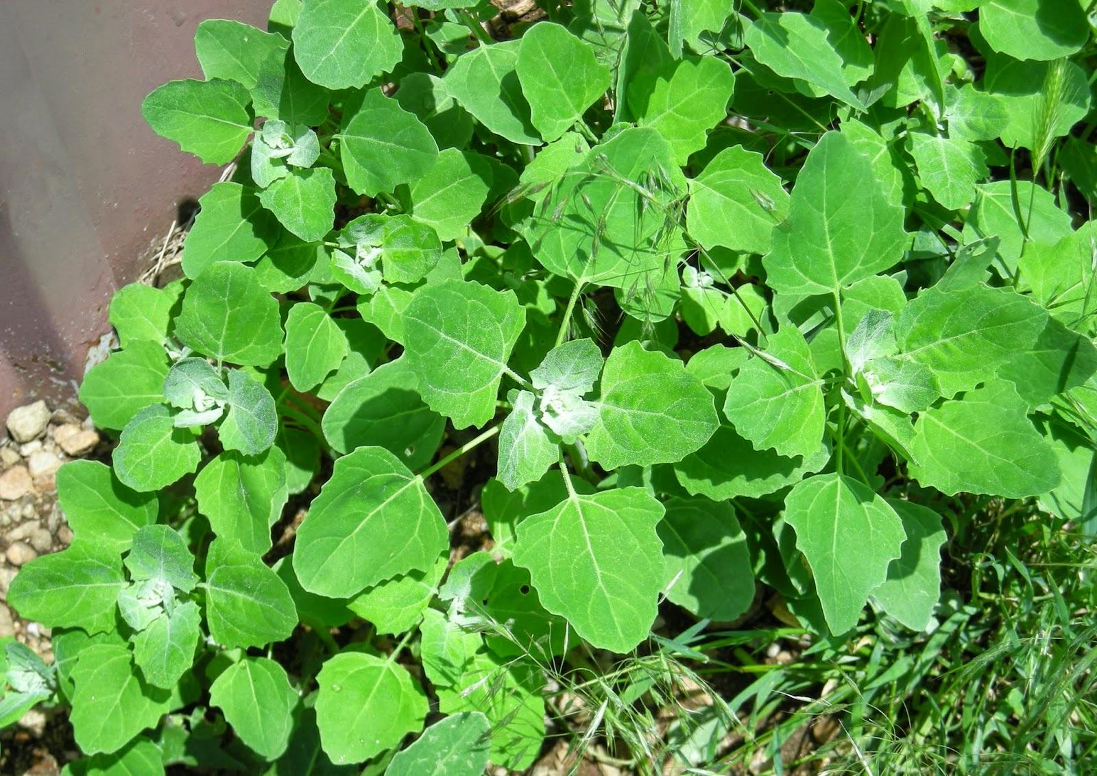 Chenopodium album, Amaranthaceae