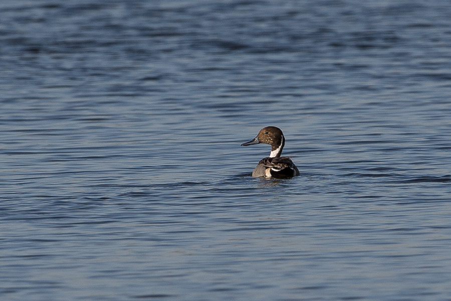 Northern Pintail - male