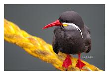 [Aves de Chile]