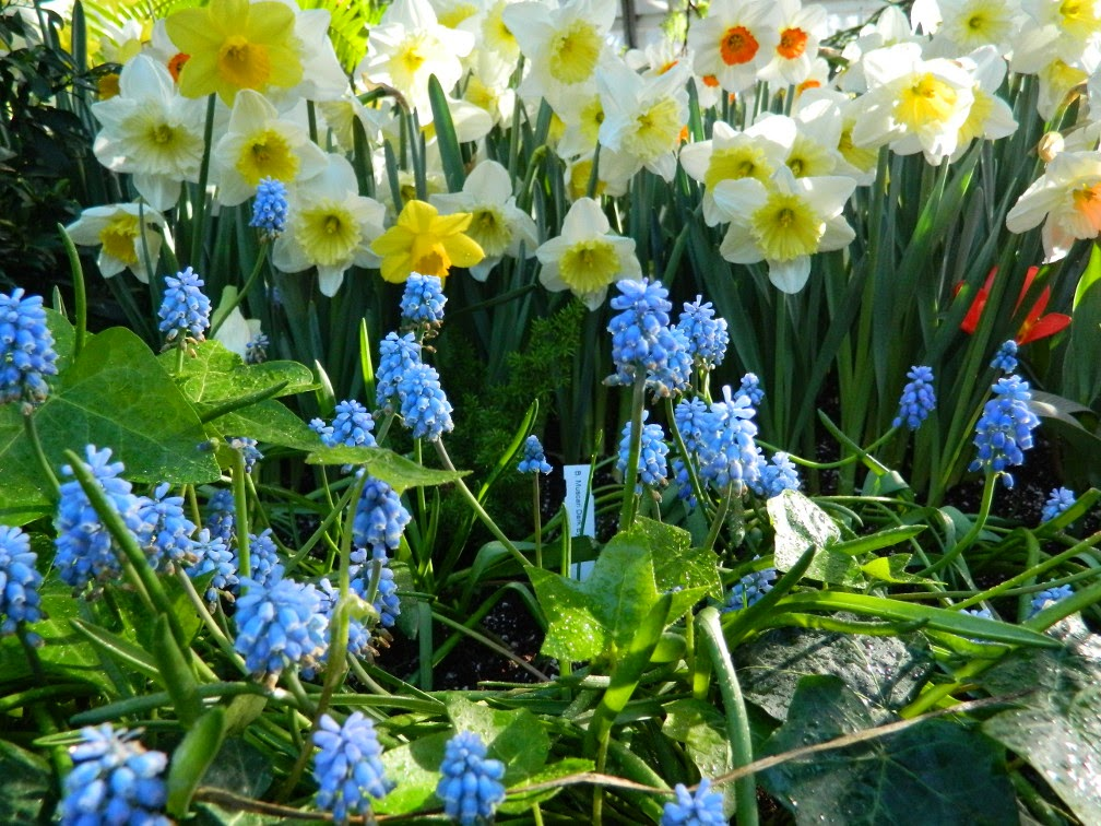 Grape hyacinth and daffodils Allan Gardens Conservatory 2015 Spring Flower Show by garden muses-not another Toronto gardening blog