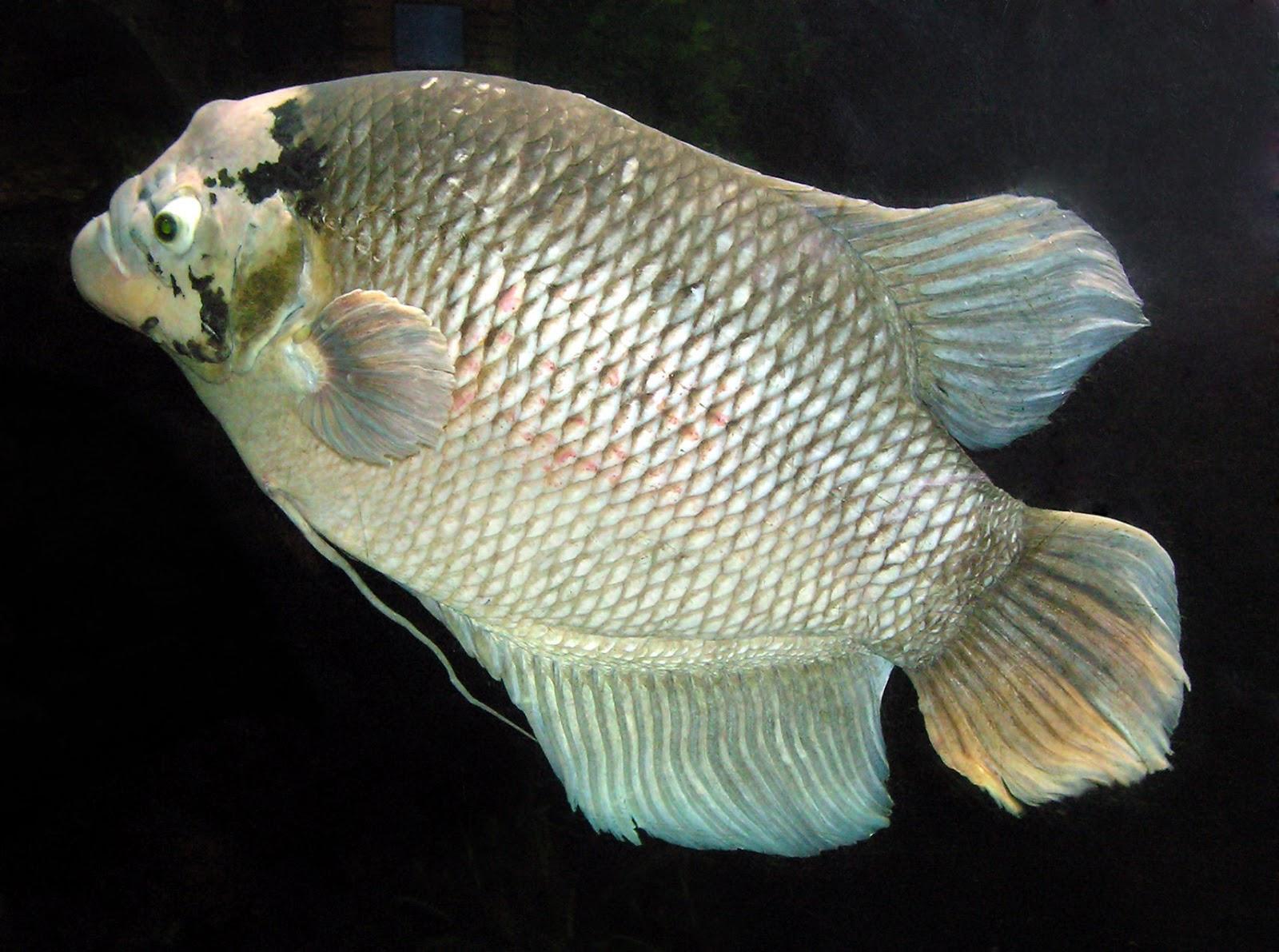 Giant Gourami - Fishes