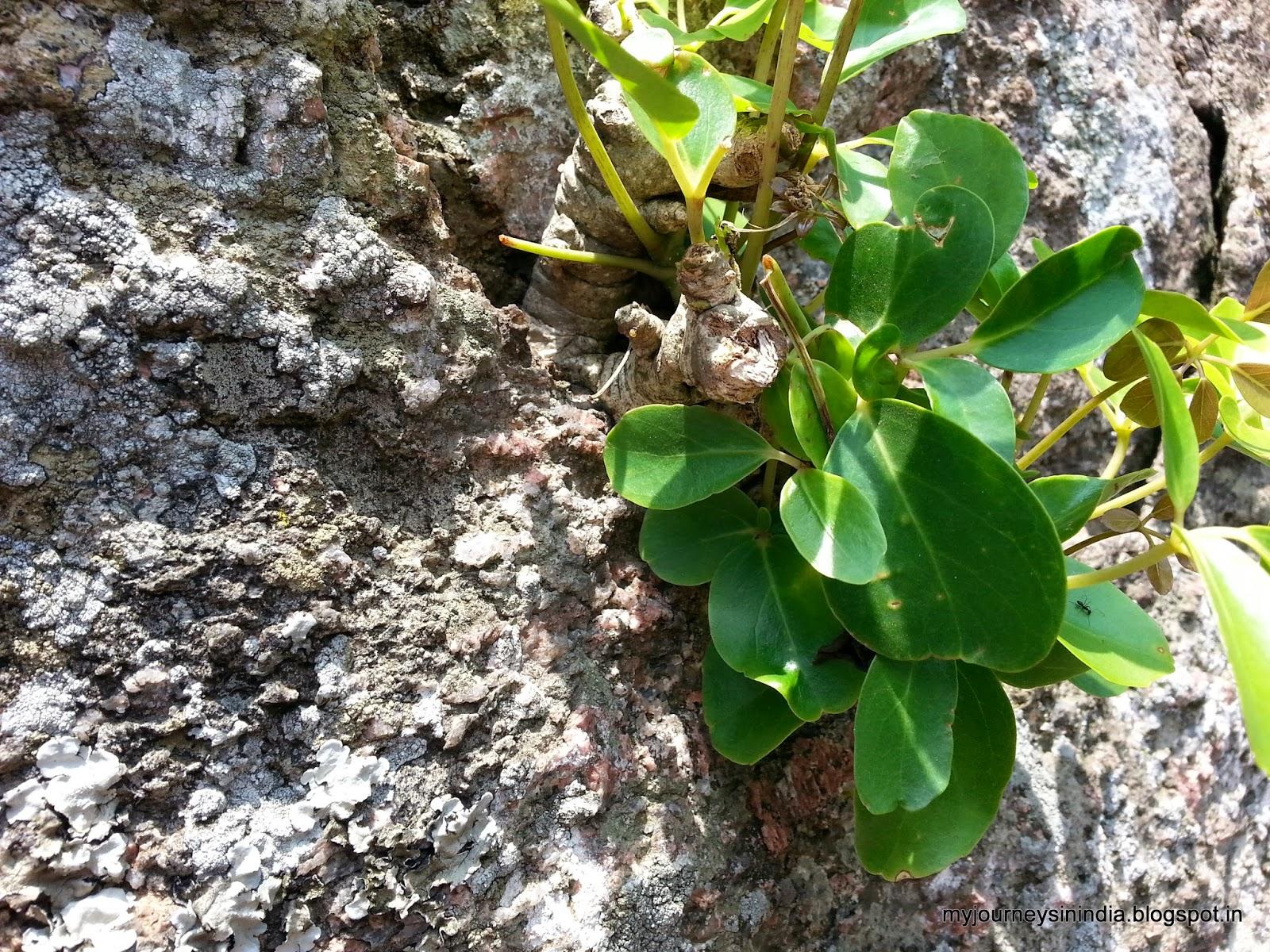 Trees growing on rocks - Shivagange