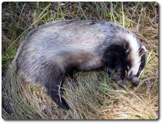 GREFA:Si encuentras un animal silvestre (enfermo o herido)...