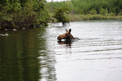 cow moose swimming, Red Lake, Ontario