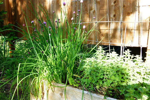 chives, garden, allium schoenoprasum, cooking with herbs