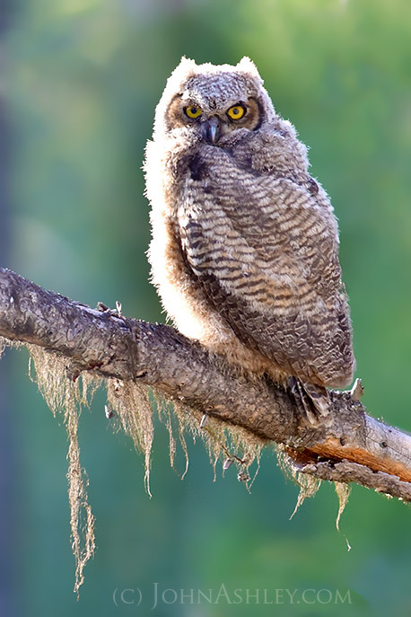 Juvenile great-horned owl (c) John Ashley