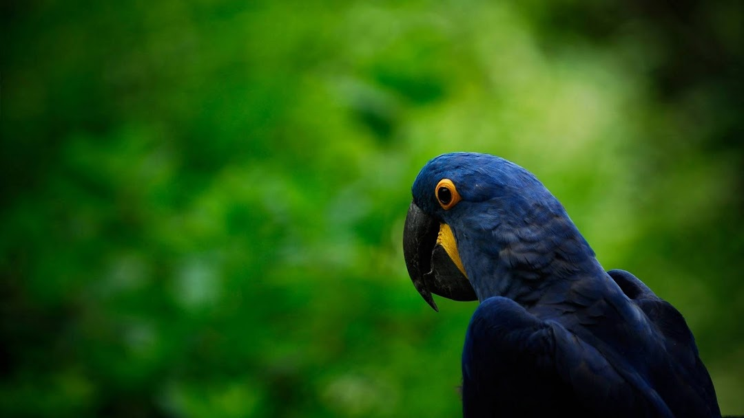 Blue Parrot HD Wallpaper