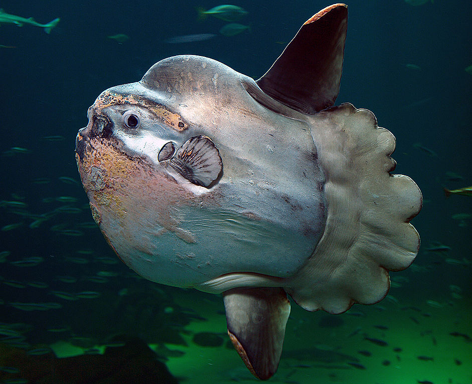 Real monstrosities ocean sunfish for Mola mola fish