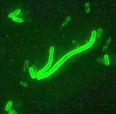 Yesernia pestis