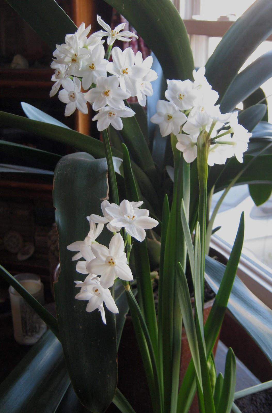 Sorta Fabulous Paperwhites Beautiful White Flowers That Smell Bad