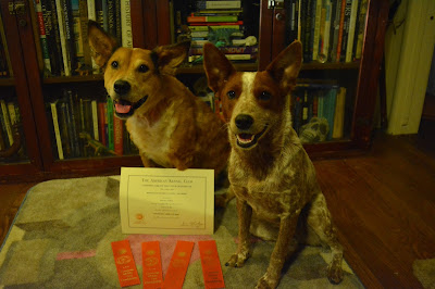 Brisbane's second AKC title and ribbons
