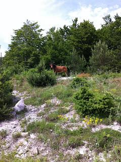 Дива кобила - Белинташ