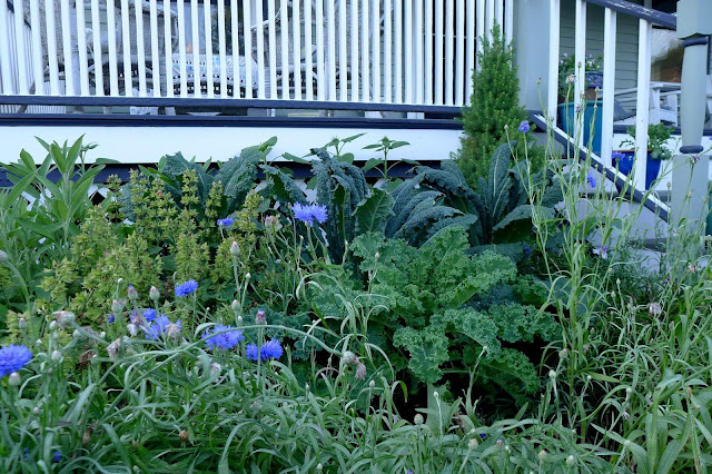 Tuscany and Dwarf Curly Blue Kale, edible landscaping