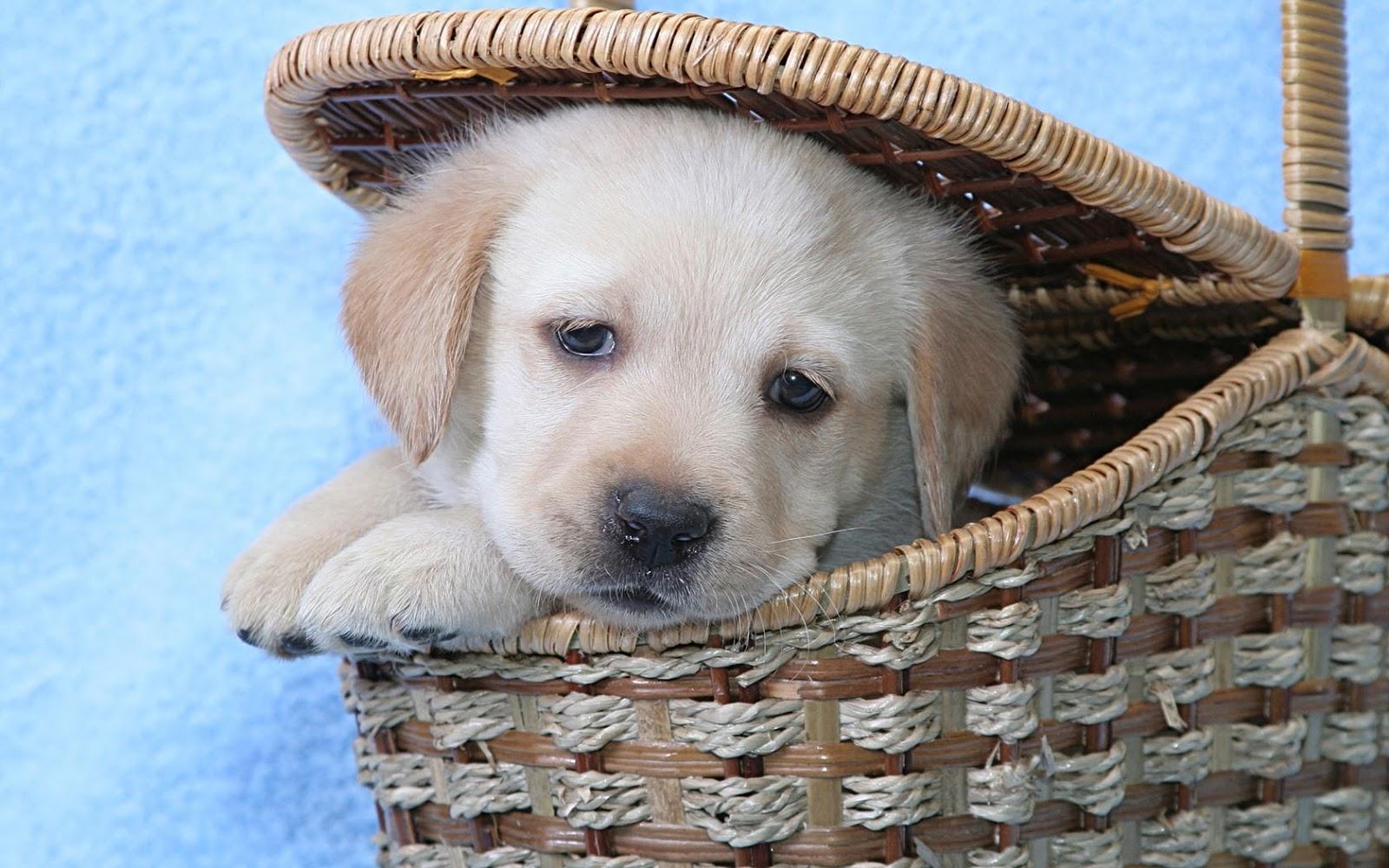 http://4.bp.blogspot.com/-pvhCtu8wRM8/UNDaHn6LhoI/AAAAAAAAI-o/oiaisezZkuY/s1600/wallpaper-of-a-labrador-puppy-sitting-in-a-basket-hd-dog-wallpaper.jpg