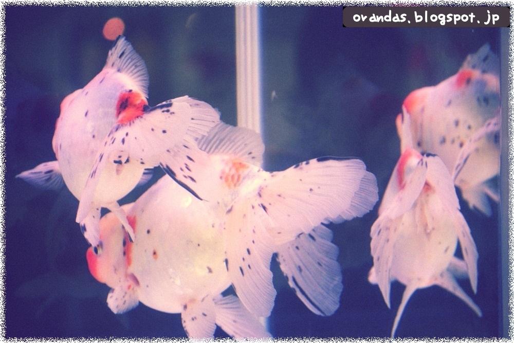 幻想的な金魚の後ろ姿の画像です。