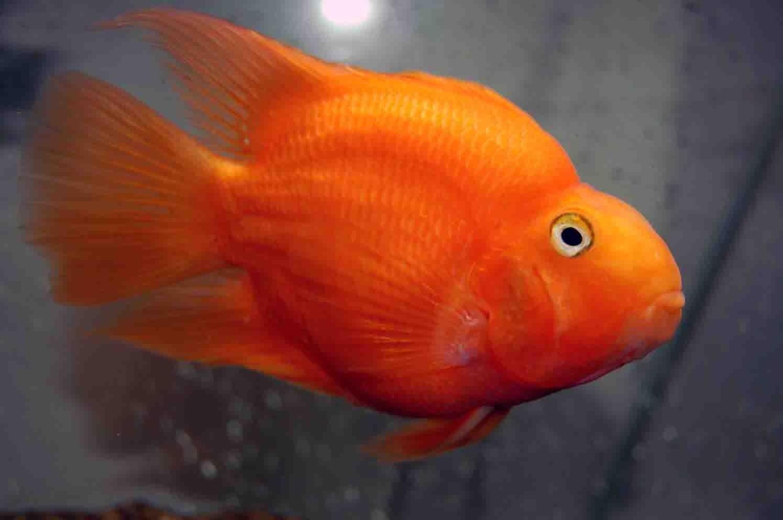 JOE\'S AQUAWORLD FOR EXOTIC FISHES MUMBAI INDIA 9833898901: 3inches ...
