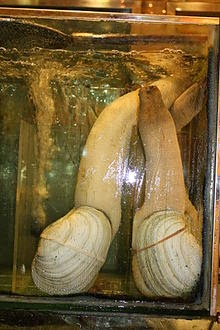 Geoducks ready for purchase