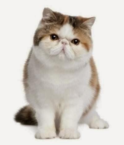 kucing-persia-berbulu-pendek