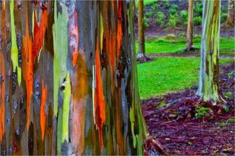 pohon rainbow
