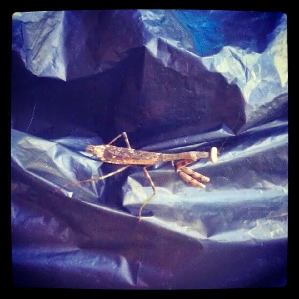 Praying Mantis on the Porch