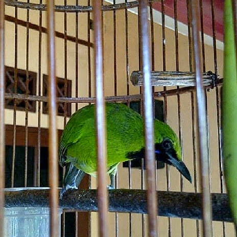 Tips Membedakan Burung Cucak Ijo Jantan dan Betina Trotolan