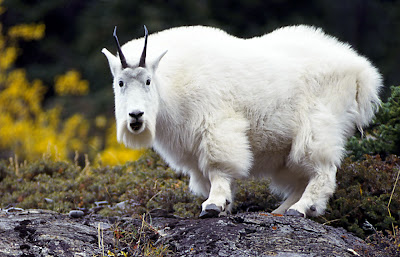 Image Mountain Goat