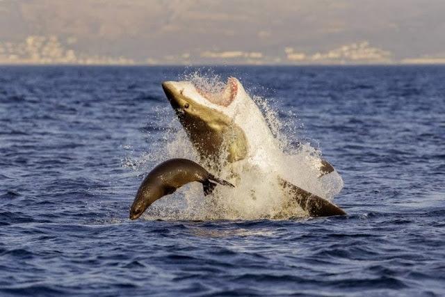 Морской котик избежал смерти от челюстей акулы у берегов Кейптауна в Южной Африке