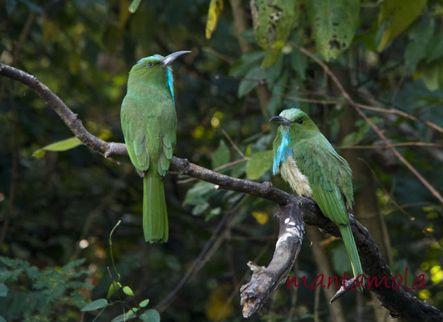 Kaeng Krachan, Blue Bearded Bee Eater