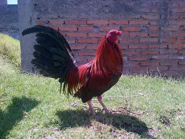 Pollo copetón rojo