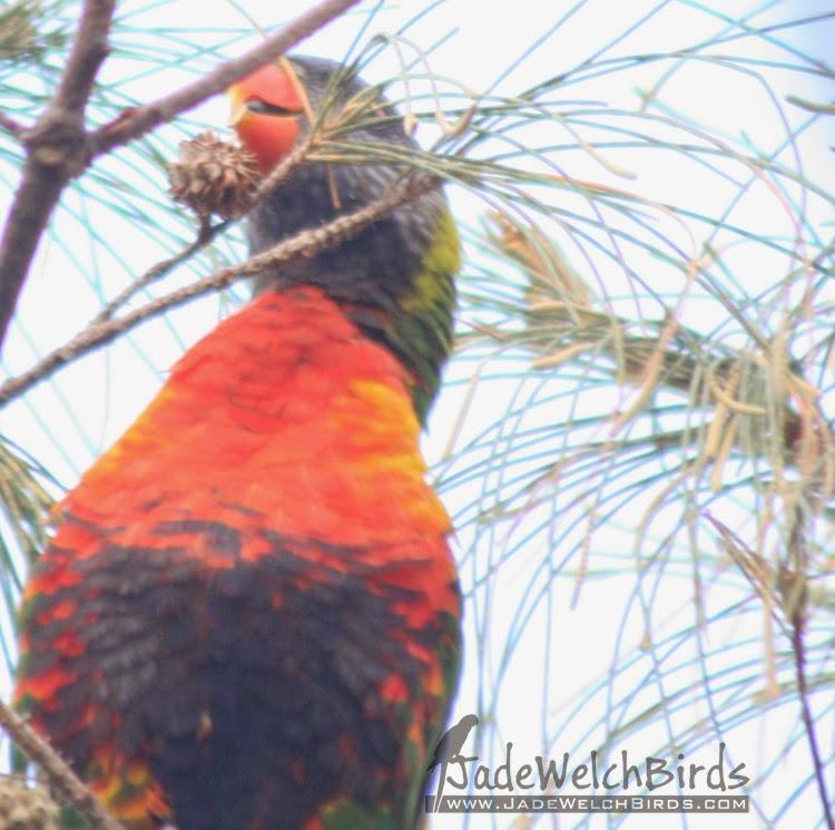 rainbow lorikeet seed casuarina jadewelchbirds jade welch nectar search ingesting