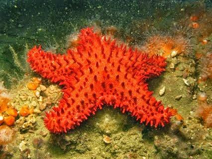 nuevas especies de estrella de mar en costas peruanas