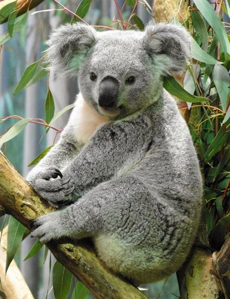 Koala (marsupial) | Facts About All