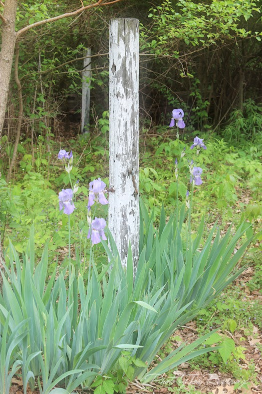 Naturalized Iris in Poison Ivy Photo by Tori Beveridge
