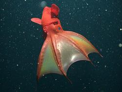 Vampir Squid - Hewan Teraneh